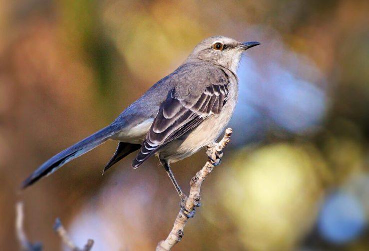 Mockingbird-praise-new song-Jeremiah's menu